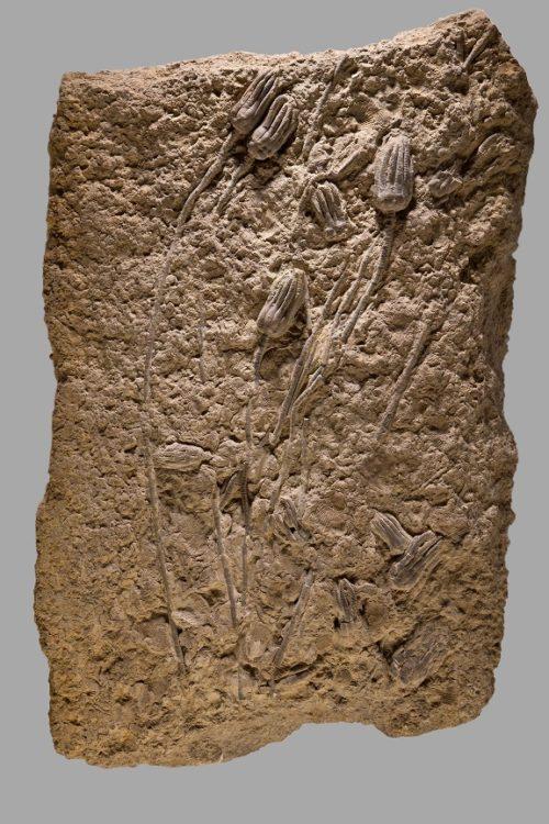 """95 cm minerales/"""" piedra joyas fósiles Marrón oscuro 1 cabras colgante aprox"""